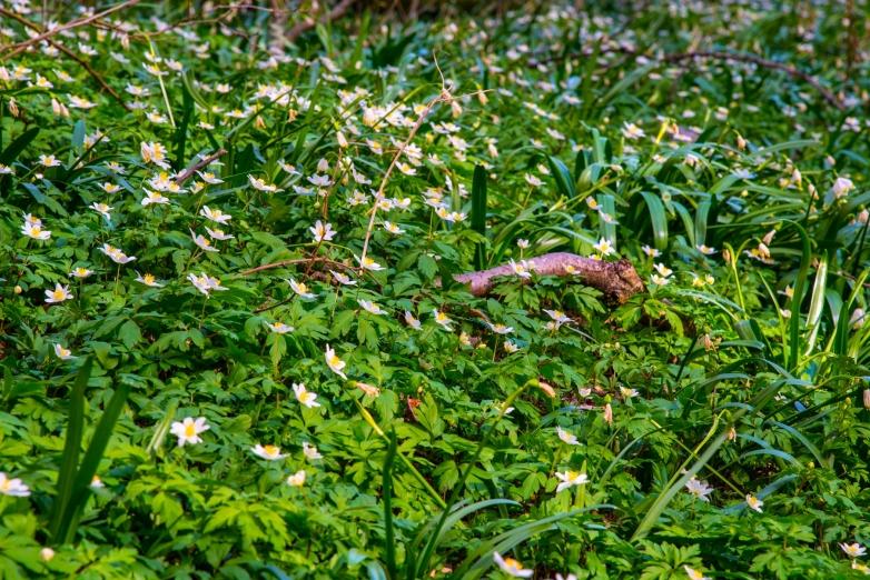 Polenztal Buschwindröschen
