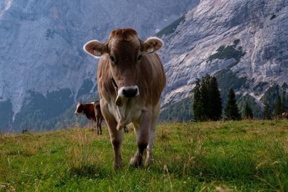 Kuh an der Hochalm