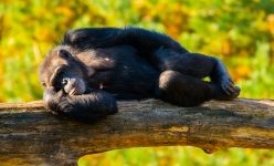 Schimpanse
