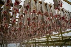 Frisch aufgehangener Stockfisch (älter als 2Wochen)