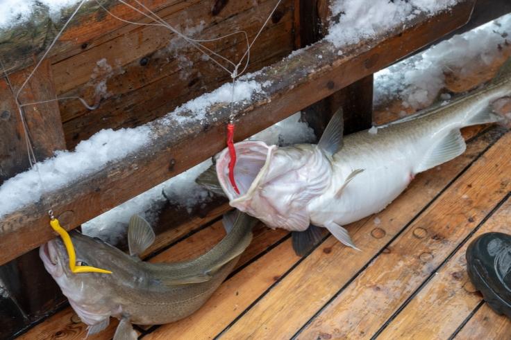 Arktischer Kabeljau